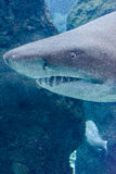 Requin dans l'eau bleue Photo stock