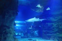 Requin dans la piscine Images stock