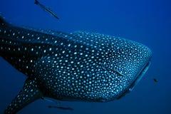 Requin de baleine Image libre de droits