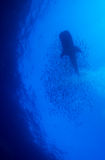 Requin de baleine avec l'école des poissons, Cuba images stock