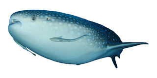 Requin de baleine d'isolement photo stock
