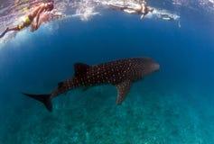 Requin de baleine en Maldives image libre de droits