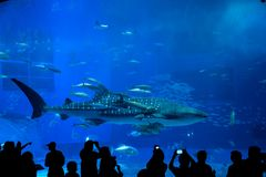 Requin de baleine en Okinawa Churaumi Aquarium Image stock