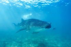Requin de baleine et belle scène sous-marine avec l'espèce marine au soleil en mer bleue Naviguer au schnorchel et scaphandre Mal Photo libre de droits