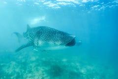 Requin de baleine et belle scène sous-marine avec l'espèce marine au soleil en mer bleue Naviguer au schnorchel et scaphandre Mal Photographie stock