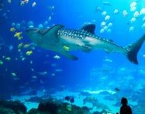 Requin de baleine géant avec de diverses créatures de mer à l'aquarium Etats-Unis de la Géorgie Photo libre de droits