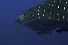 Requin de baleine sous-marin photographie stock libre de droits