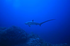 Requin de batteuse Images stock