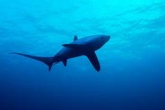 Requin de batteuse image stock