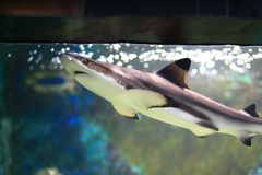 Requin de Blacktip Photos libres de droits