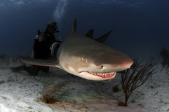Requin de citron Photographie stock libre de droits