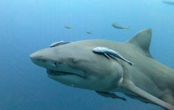 Requin de citron Images stock