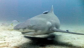 Requin de citron Photographie stock