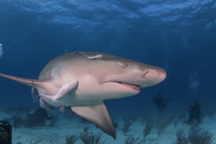 Requin de citron Image stock