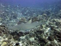 requin de citron Photo libre de droits