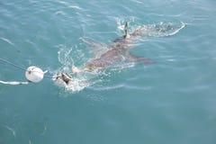 Requin de cuivre chassant l'amorce près de la cage de requin images libres de droits