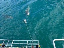 Requin de cuivre devant une cage photographie stock libre de droits