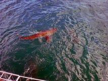 Requin de cuivre devant une cage image stock