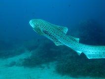 Requin de léopard. Images stock