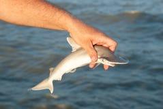 Requin de poisson-marteau de bébé étant libéré après crochet Image stock