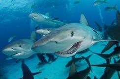Requin de récif Images libres de droits