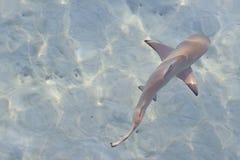 Requin de récif Image libre de droits