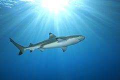 Requin de récif de Blacktip photographie stock libre de droits