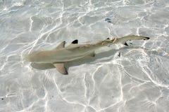 Requin de récif de Blacktip Photos stock