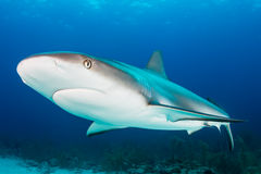 Requin de récif Photo stock