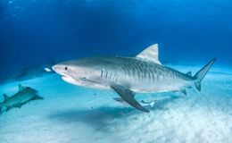 Requin de tigre chez les Bahamas images libres de droits