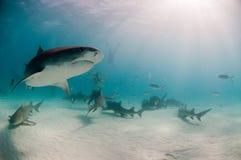 Requin de tigre curieux Photographie stock libre de droits