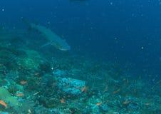 Requin de Whitetip Photographie stock libre de droits