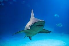 Requin en mer Photographie stock