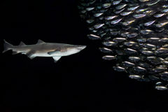 Requin et poissons Photos stock