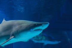 Requin gris de récif Images stock