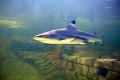 Requin gris de récif Photo libre de droits