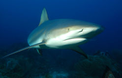 Requin gris de récif Photographie stock libre de droits