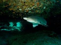 Requin loqueteux de dent photographie stock libre de droits