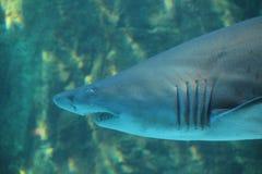Requin loqueteux de dent photographie stock