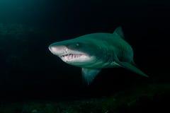 Requin loqueteux de dent dans le banc d'Aliwal, Afrique du Sud photo stock