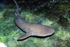 Requin noir d'extrémité Images stock