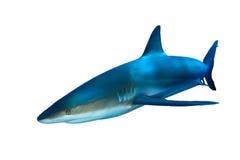 Requin sur le blanc images libres de droits