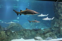 requins Photographie stock libre de droits