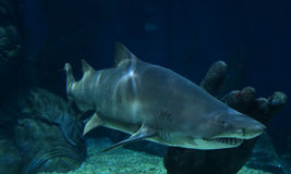 requins Photo stock