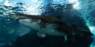 requins Images libres de droits