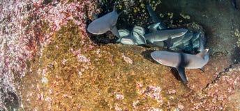 Requins blancs de récif d'astuce Photographie stock libre de droits