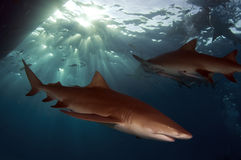 Requins de citron Photos stock