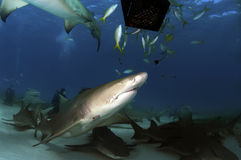 Requins de citron Photographie stock