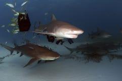 Requins de citron Photo stock