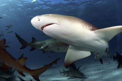 Requins de citron Photos libres de droits